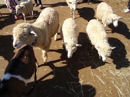 131027_sheep.jpg