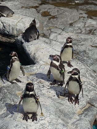 フンボルトペンギン (1).JPG